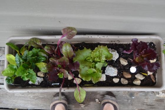 winter green garden, chard and lettuce